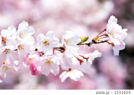 満開のソメイヨシノの花 1531624