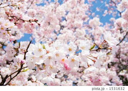 満開のソメイヨシノの花 1531632