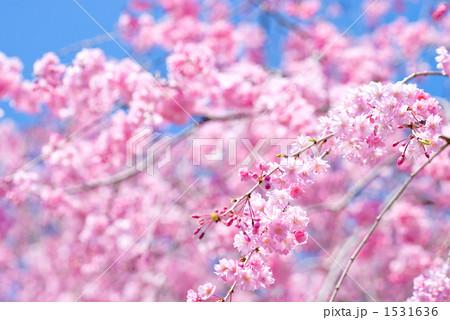 満開の紅枝垂桜の花 1531636