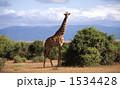 アミメキリン 麒麟 アフリカの写真 1534428
