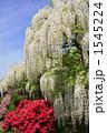 ふじ フジ 白藤の写真 1545224