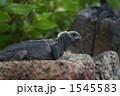 ウミイグアナ 海イグアナ イグアナの写真 1545583