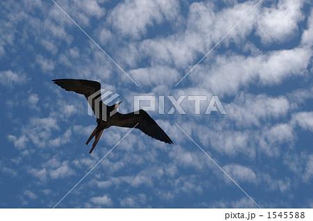 グンカンドリの飛翔 1545588