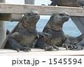 イグアナ ウミイグアナ 海イグアナの写真 1545594