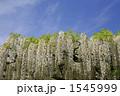 ふじ フジ 白藤の写真 1545999