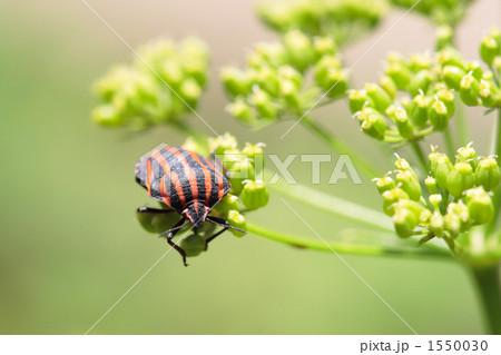 イタリアンパセリの花にとまるアカスジカメムシ 1550030