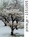 白梅 梅 積雪の写真 1551005