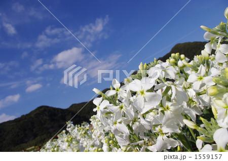 ストックの花畑と青空 1559157