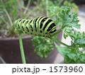 キアゲハ 幼虫 アゲハチョウの写真 1573960