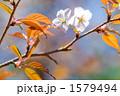 山桜の花 1579494