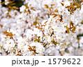 満開の山桜の花 1579622