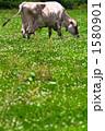 放牧 1580901
