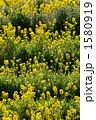 菜の花 1580919