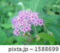 落葉低木 シモツケ 花の写真 1588699