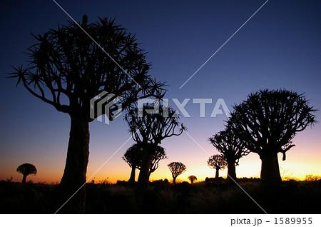 キバーツリーのシルエット 1589955