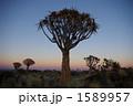 夕焼け キバーツリー 地平線の写真 1589957