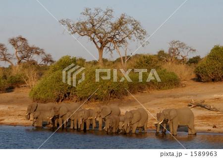 アフリカゾウの家族 1589963