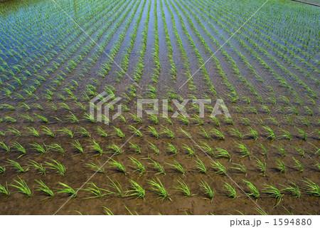 水田と稲の苗 1594880