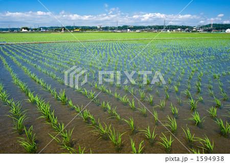 水田と稲の苗 1594938