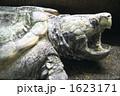 ワニガメ 爬虫類 カメの写真 1623171