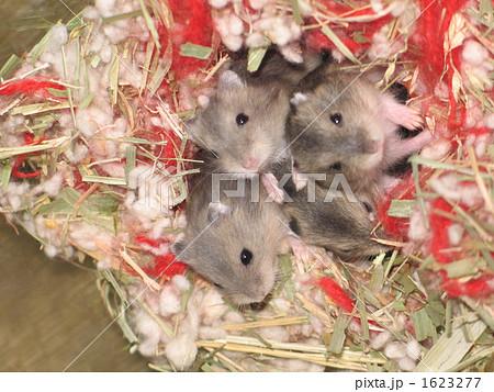 生まれたてのネズミです 1623277