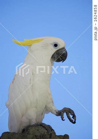 オウム 鳥類 鳥の写真素材 [1624858] - PIXTA