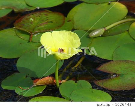 ビオトープ 池に咲く黄色いウォーターポピーの花 つぼみ