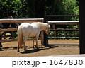白いポニー 1647830