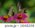 ちょう アゲハ蝶 百日草の写真 1648208
