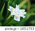 アヤメ科ジャガの一輪花 1651753