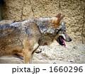 陸上動物 狼 オオカミの写真 1660296