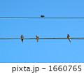 ツバメ 1660765
