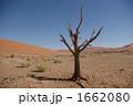 砂漠 ナミブ砂漠 枯れ木の写真 1662080