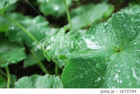雨上がりの葉 1670794