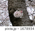 桜の幹 1678934