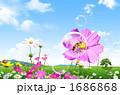 花畑 野原 コスモス畑の写真 1686868