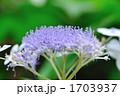 ガクアジサイ 花 植物の写真 1703937