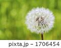 種 セイヨウタンポポ タンポポの写真 1706454