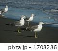 ウミネコ 1708286