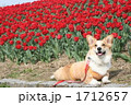コーギー チューリップ畑 ペットの写真 1712657