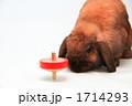 こま ホーランドロップ 動物の写真 1714293