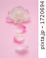 さざんか 山茶花 サザンカの写真 1720694