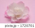 山茶花 さざんか サザンカの写真 1720701