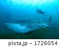 ジンベイザメ ウォータースポーツ スキューバダイビングの写真 1726054
