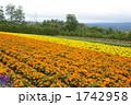マリーゴールド オレンジ 花畑の写真 1742958