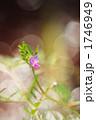 ヤハズエンドウ カラスノエンドウ 植物の写真 1746949