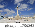鳥類 白鳥 渡り鳥の写真 1750262