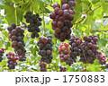 ぶどう棚 グレープ ブドウ畑の写真 1750883