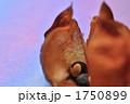 フウセンカズラ 種 植物の写真 1750899