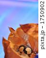 フウセンカズラ 種 植物の写真 1750902